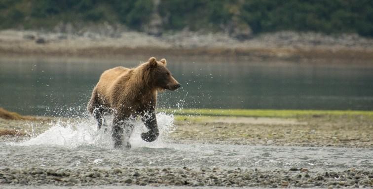 Kukak Bear (1)