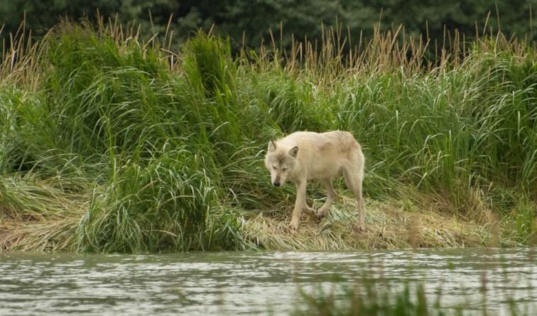 Lone Wolf (1)
