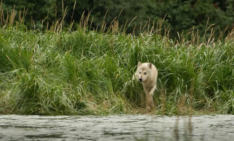 Lone Wolf (3)