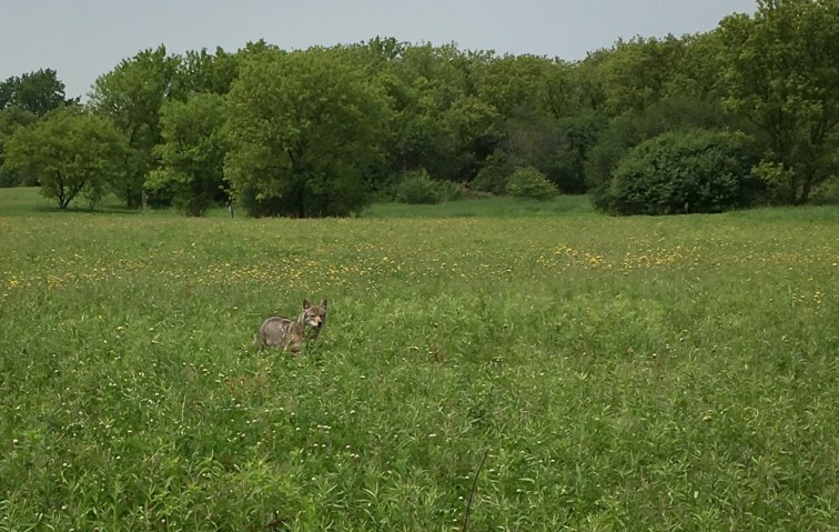 polite wild coyote escorting us away