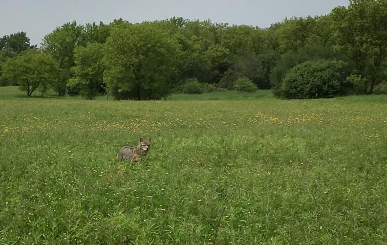 polite wild coyote escorting us away