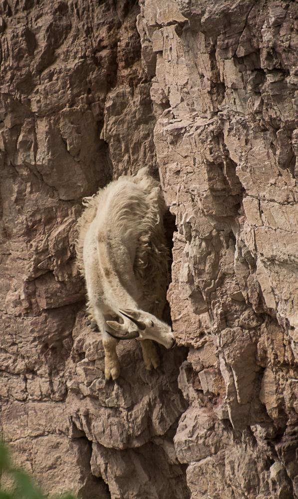 Goat Lick mountain goat