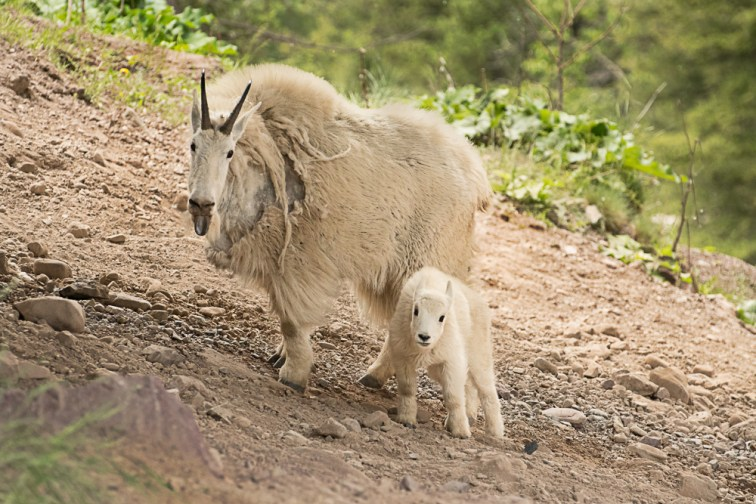 Licking Nanny Mountain Goat and Kid