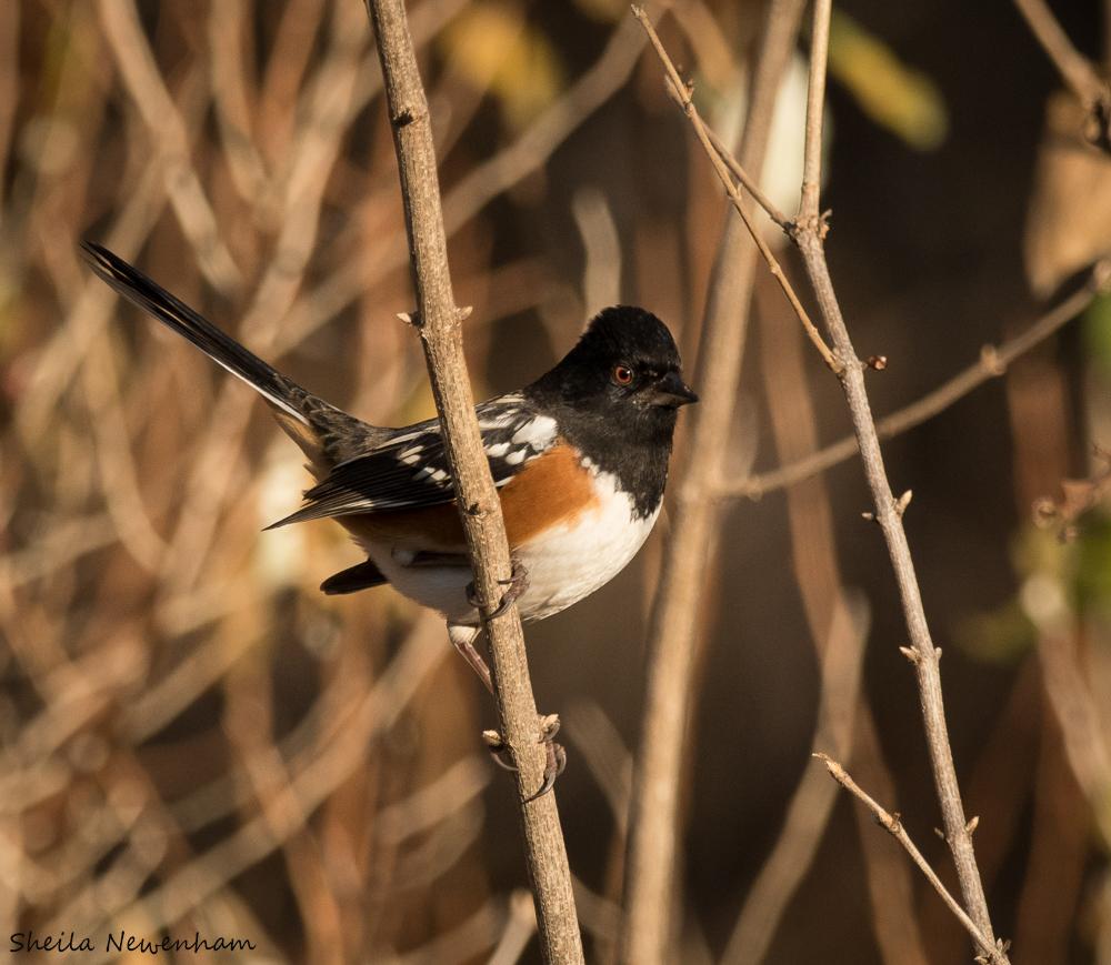 Waubonsie Birds