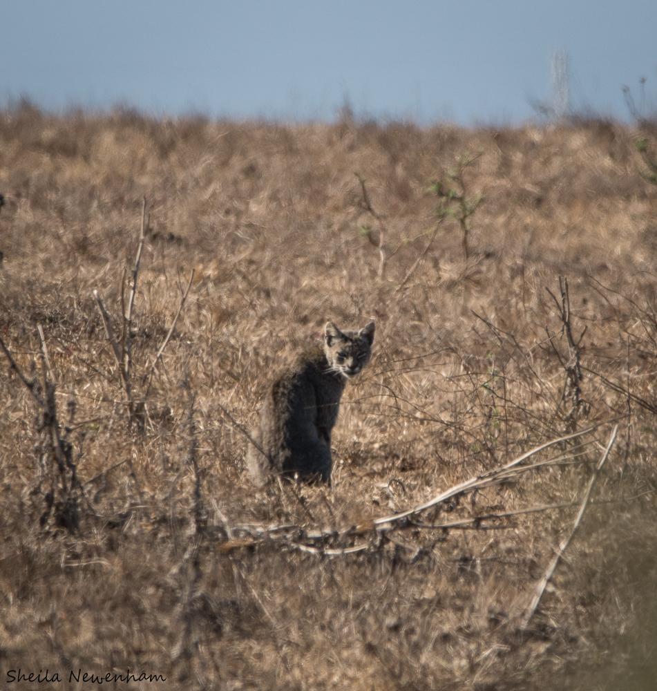 Elusive wild bobcat