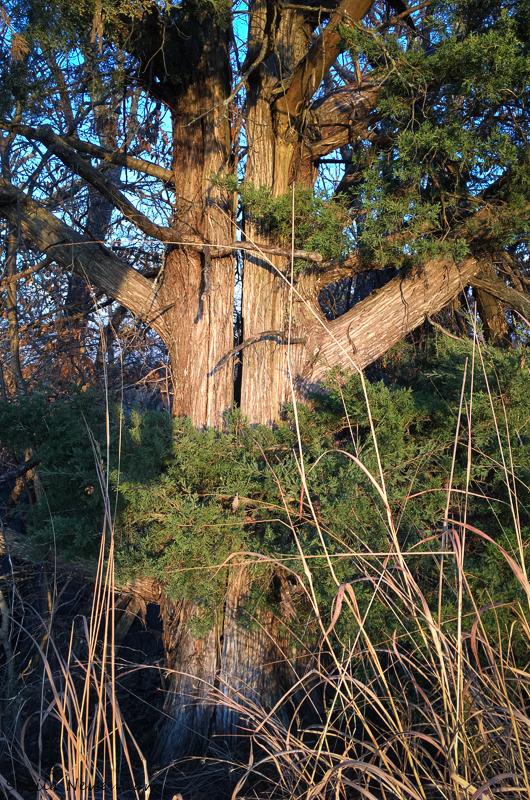 Split Pine