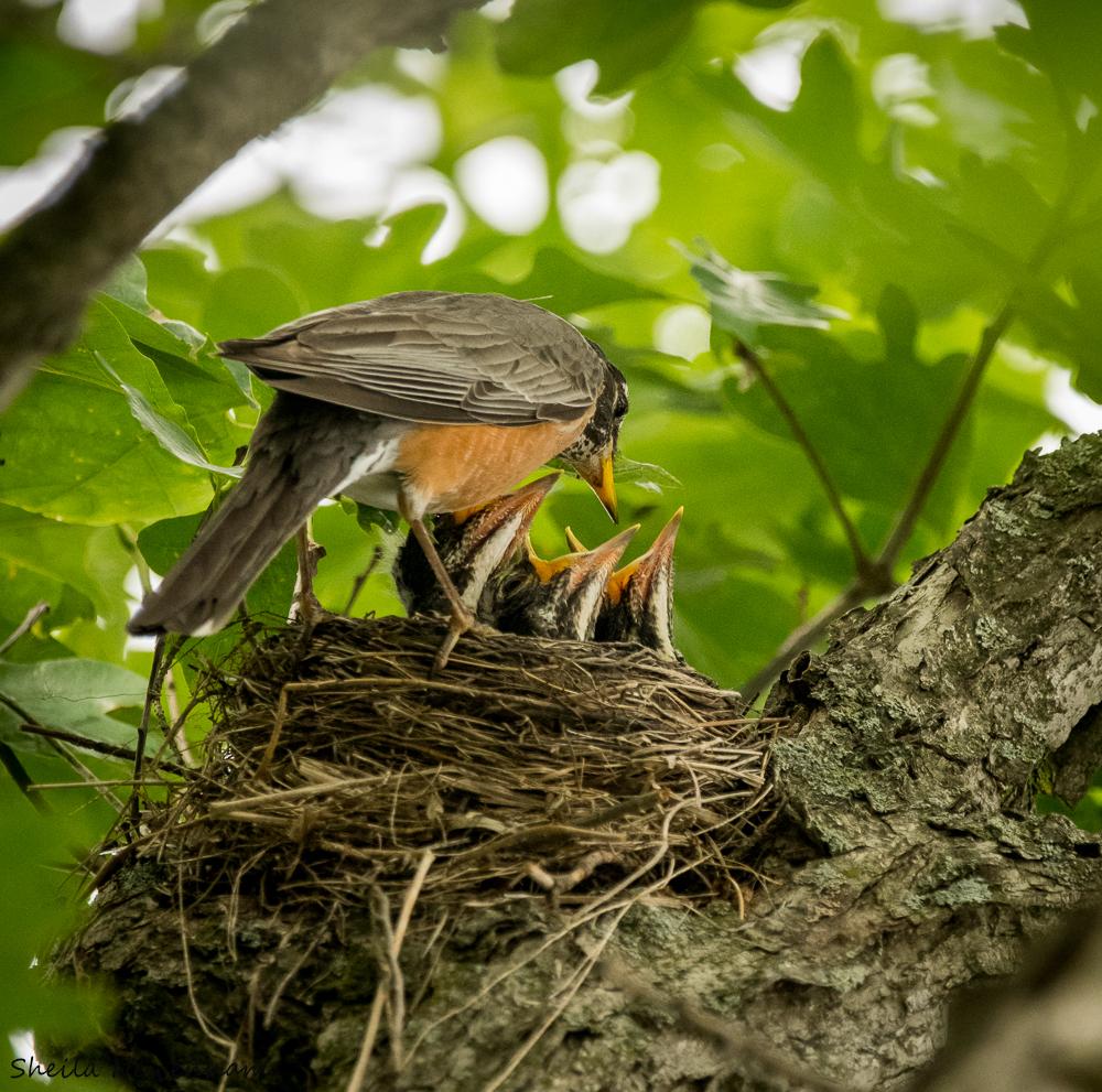 Robins feeding