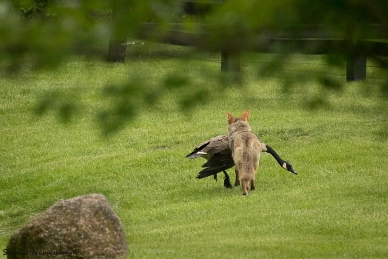 Coyote Versus Geese