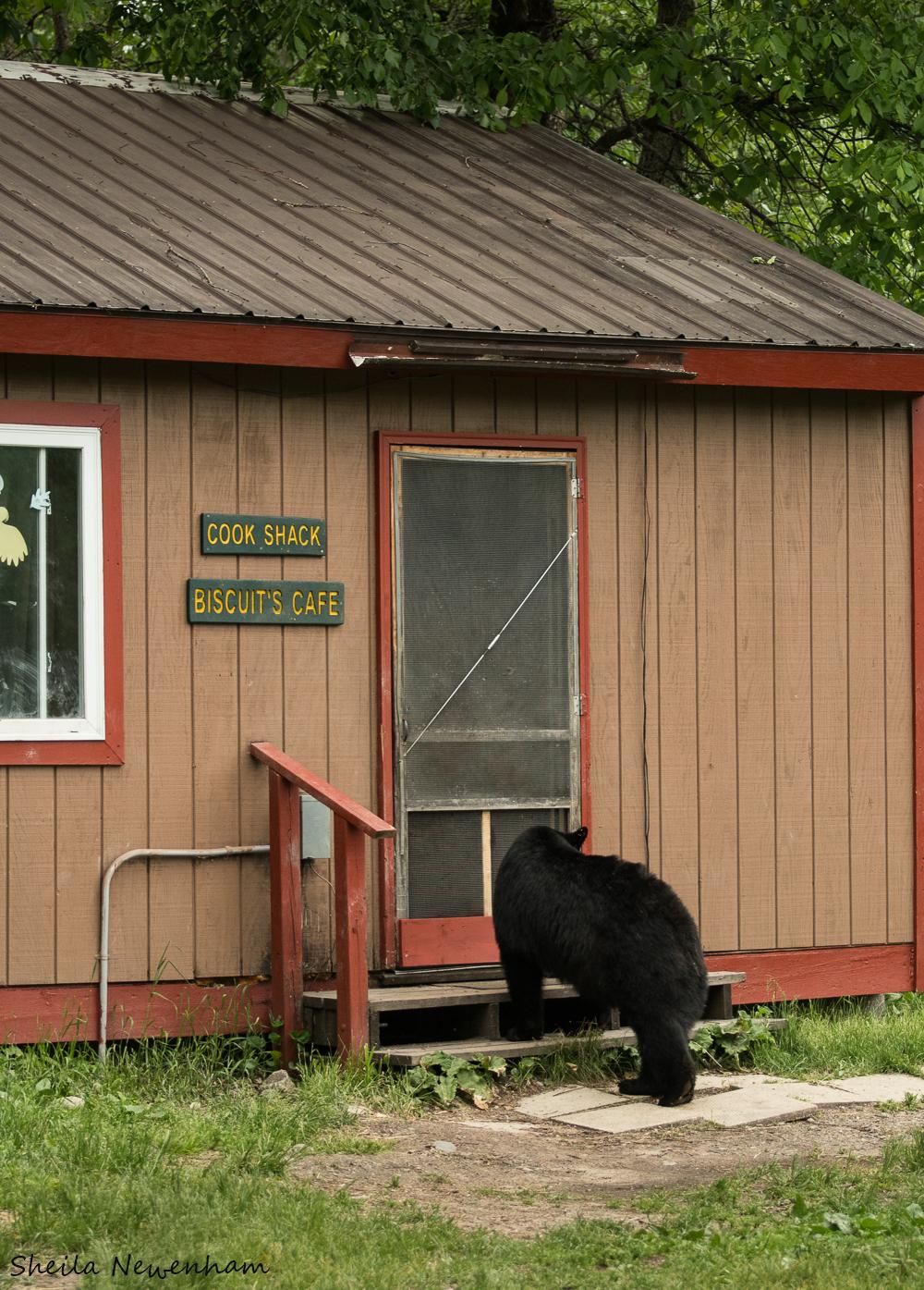 Bear at the Cook Shack