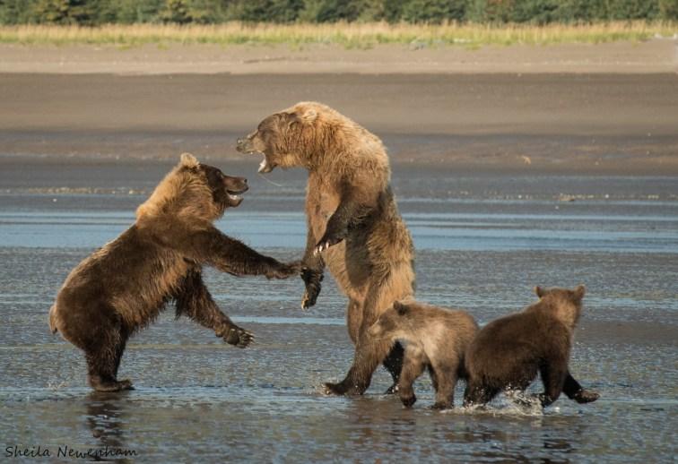 Arguing Bears