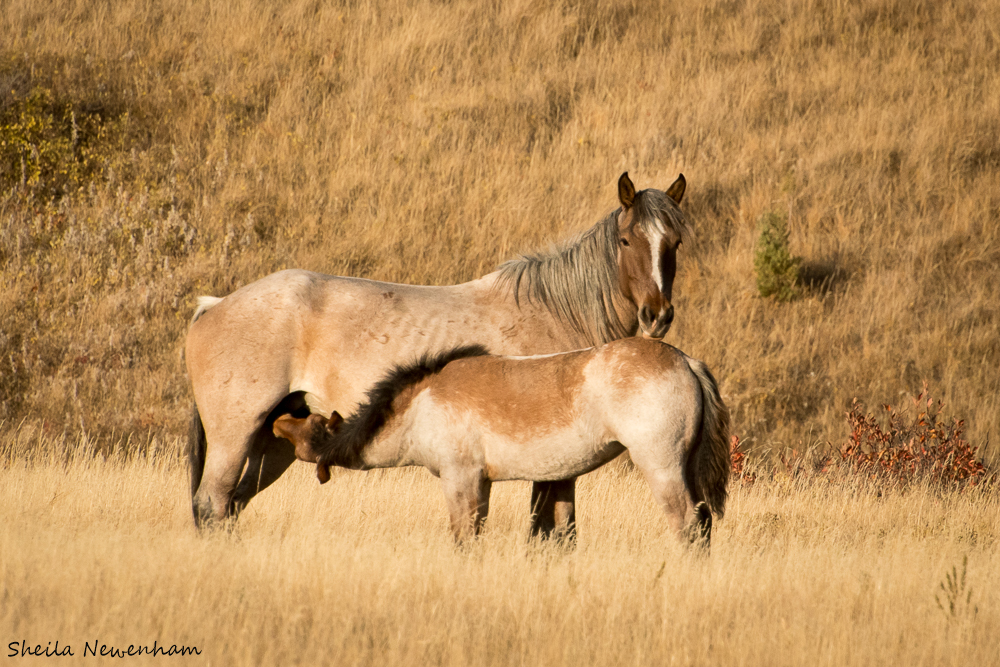 Nursing Foal
