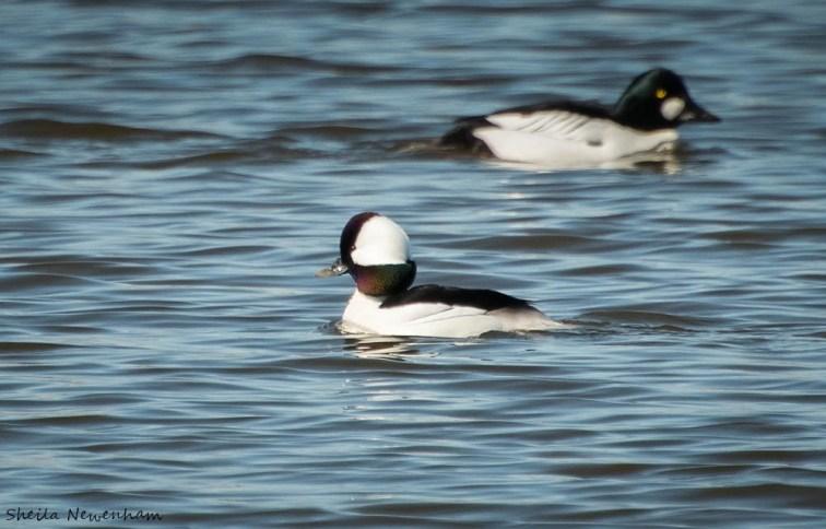 Spring bird migration in Anchorage