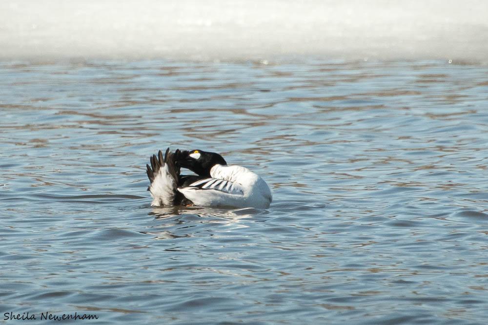 Spring bird migration Anchorage