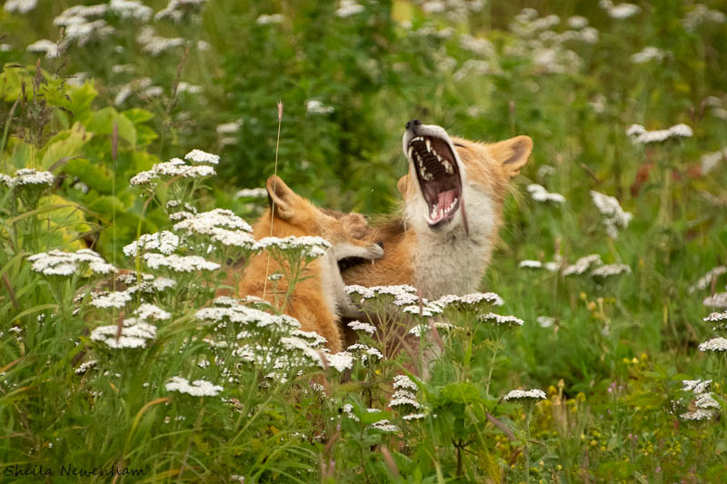 Kodiak Island Foxes at play