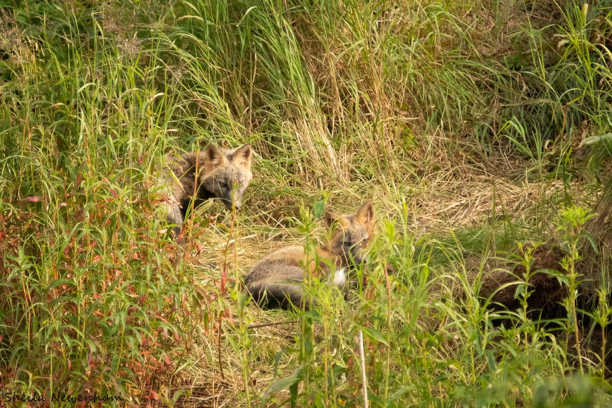 Cross fox kits and den