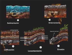 Como se forman los fosiles EXPLOROCK PERU Ilustracion 2