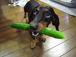 dogcucumber