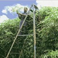 cannabistree