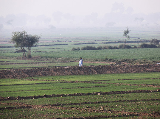 Recently re-sown paddy fields in Sindh, Pakistan. December 2010.