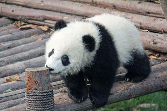 oso panda Parque Nacional Chengdu