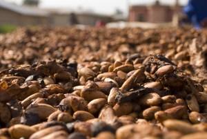 cacao or cocoa