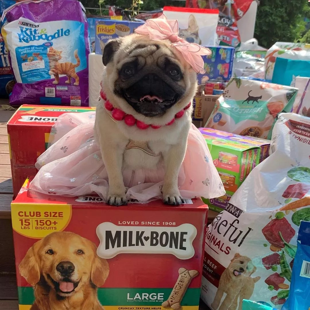 Pug sitting on donations of pet supplies. Photo by Instagram user @pugdashians