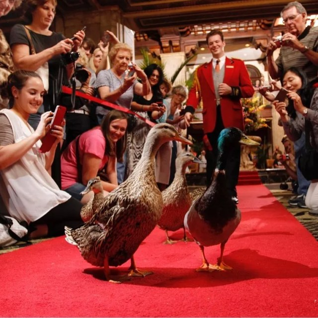 Three ducks march down the red carpet wtih grand marshall in front of on lookers for the Peabody Duck March. Photo by Instagram user @wedding_style