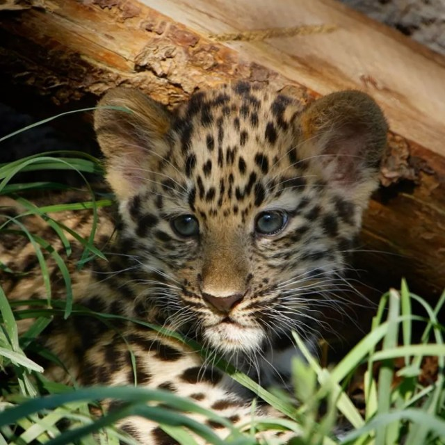A little leopard cub hides under a log within the grass. Photo by Instagram user @hoglezoo