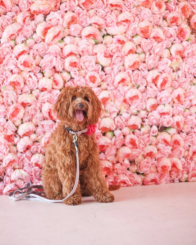 Instagram dog Texas Rosie visits the Flower Vault in San Antonio. Photo by Instagram user @txrosie