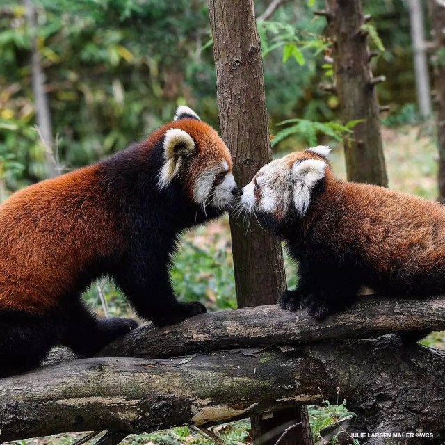 Two red pandas playing at Prospect Park Zoo Photo by Instagram user @prospectparkzoo
