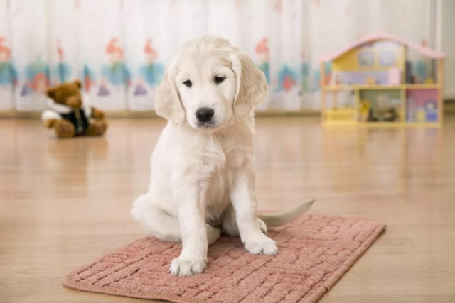 Cute, white puppy
