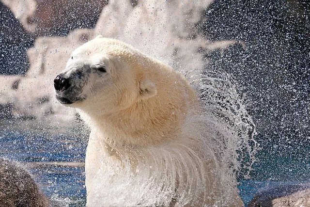 Polar bear shakes off water from fur Photo by Instagram user @abqtodo