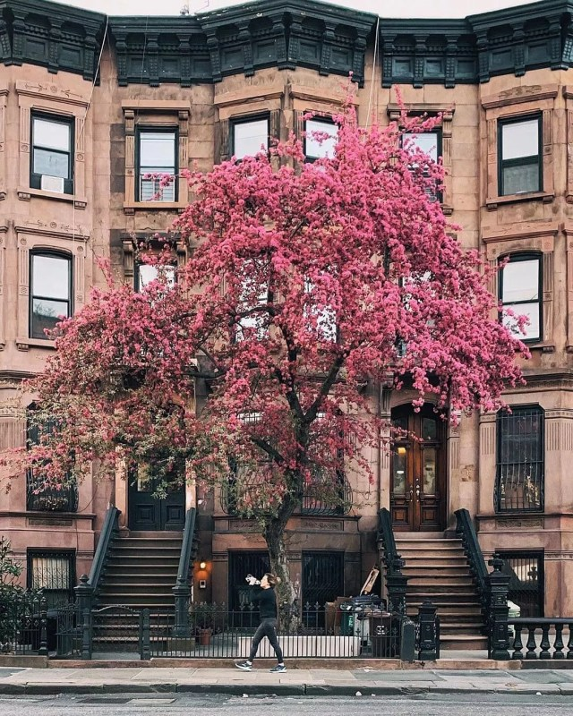 Brownstone home with red tree in front in Park Slope. Photo by Instagram user @yorkvnew
