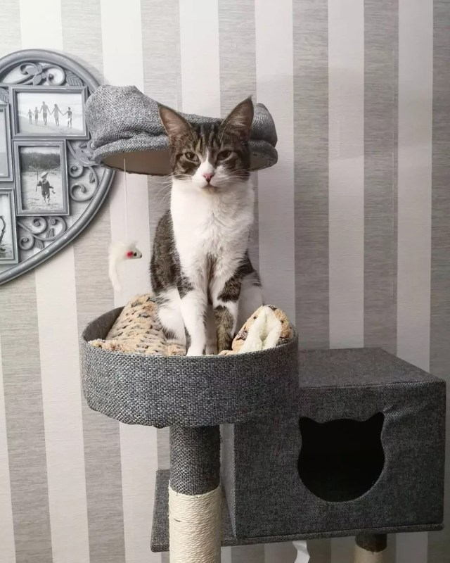 Gray and white cat sitting on gray canvas cat tree. Photo by Instagram user @mila.andthefelines