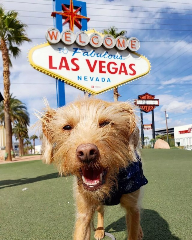 small dog standing in front of the Welcome to Las Vegas sign photo by Instagram user @winstonthedtladog