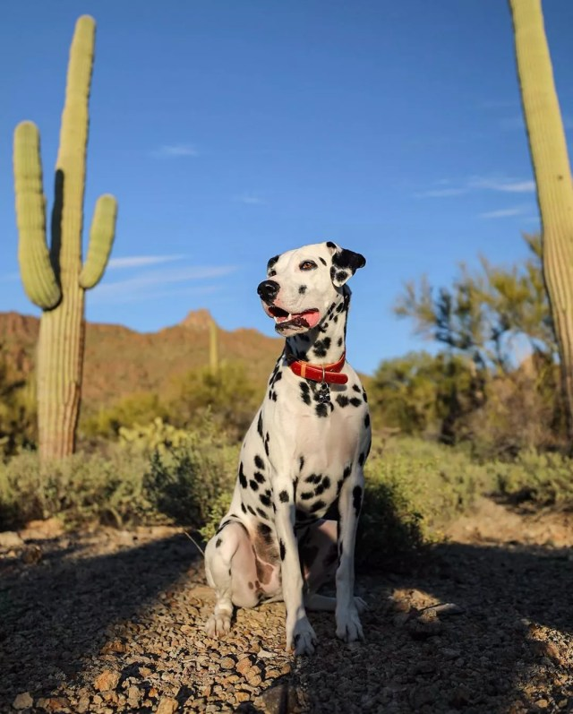 dalmation sitting down in a desert area with cactus nearby photo by Instagram user @louisonchewison