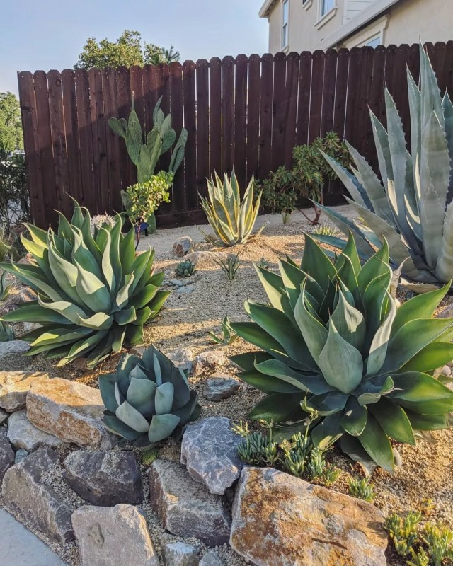 Backyard Xeriscaping with Native Plants. Photo by Instagram user @mr_agave