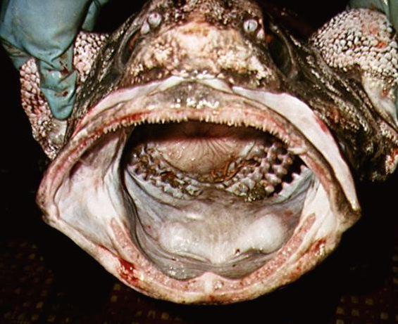 Photo of Rattail fish
