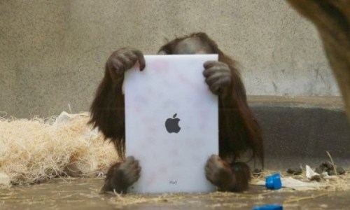 Orangutan with iPad