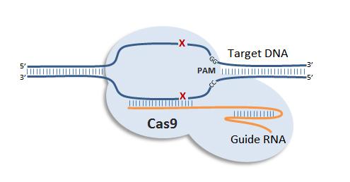 Un esquema simplificado del sistema de CRISPR.  ARN guía Cas9 en el corte en las secuencias de CRISPR.