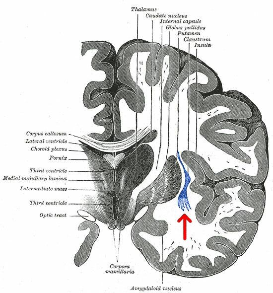 The claustrum, below the neocortex, in a human brain