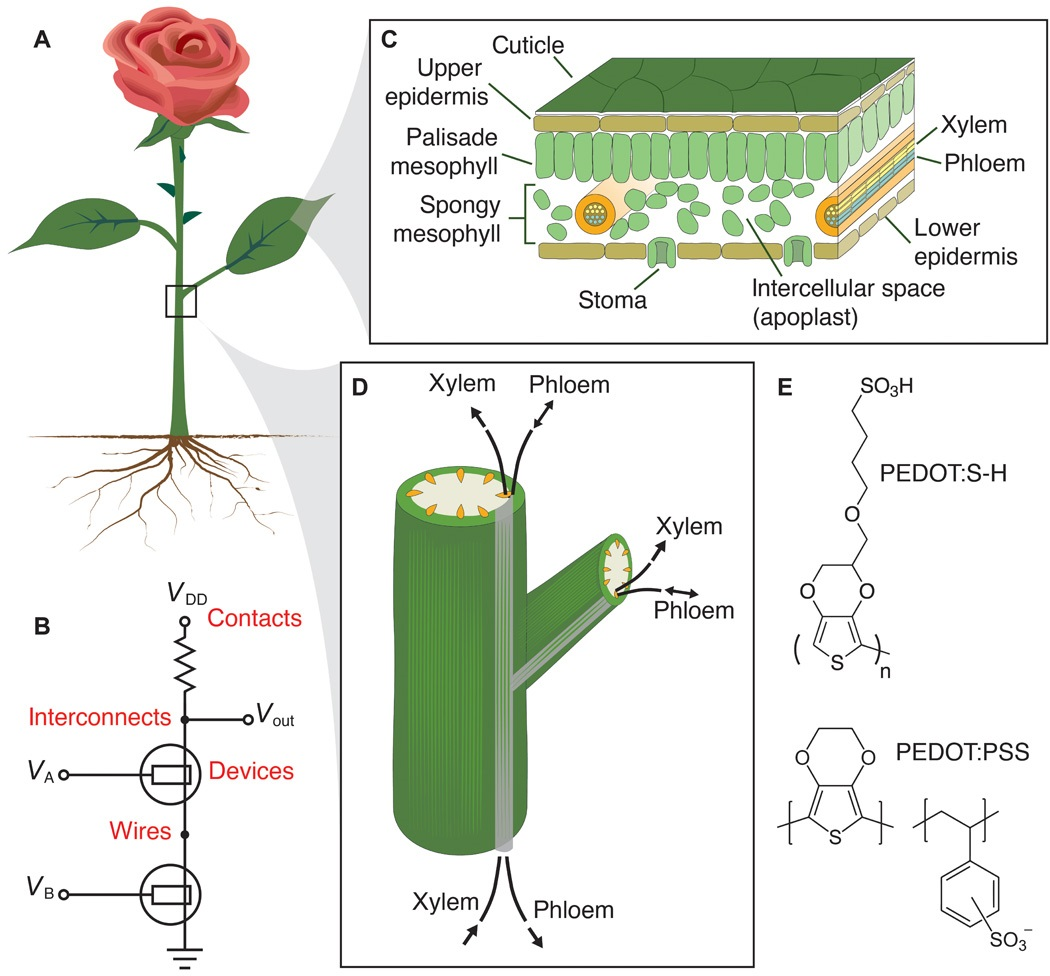 From Biological To Bionic Implanting Electronic Circuits