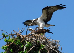 Osprey_prepare_to_mate