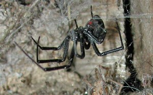 Black Widow Spider in a tangled, erratic web.