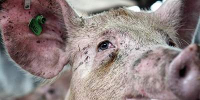 Video investigation: stunning of pigs before slaughter