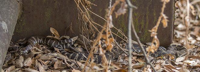 ecdysis – EYNC Rattlesnake Study