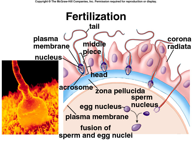 About fertilization