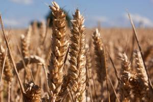 Gluten is a protein that is found in wheat, barley, and rye in order to help them stretch and give bread structure.