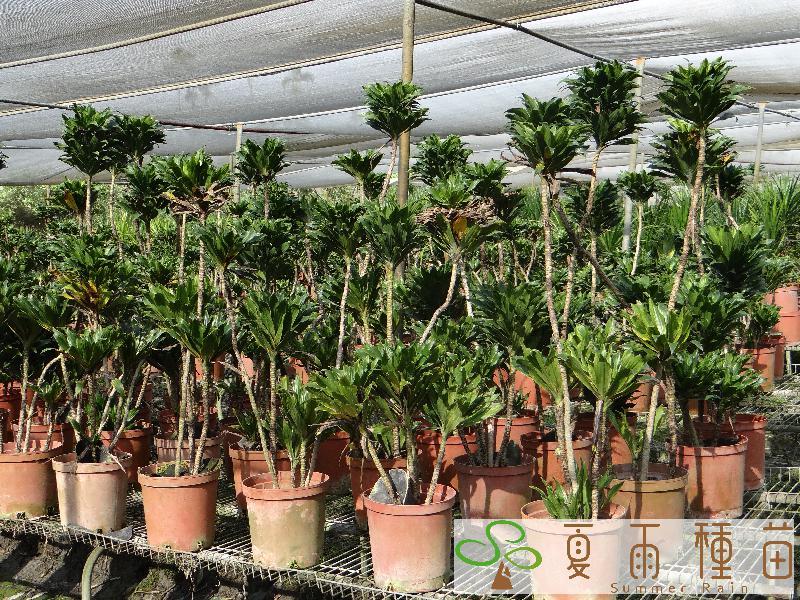 室內植物─夏雨種苗─田尾園藝花卉種苗產銷網