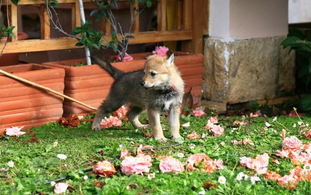 Cuccioli della cucciolata C Ezechielelupo